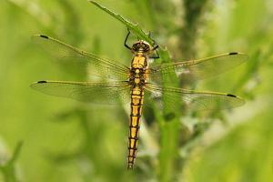 Clubtail Dragonfly on Plant by Harald Kroiss