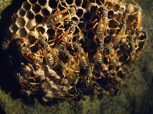 Field Wasps, Many, Colony, Honeycomb by Harald Kroiss