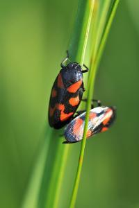 Froghoppers, Mating, Foreplay by Harald Kroiss