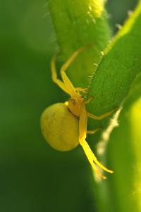 Goldenrod Crab Spider, Yellow, Female by Harald Kroiss