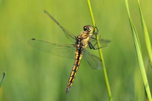 Gomphidae Dragonfly, Side View by Harald Kroiss