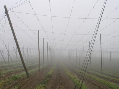Hop Garden in the Hallertau, Autumn, Fog