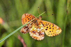 Lesser Marbled Fritillary, Blade of Grass by Harald Kroiss