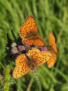 Lesser Marbled Fritillary by Harald Kroiss