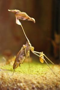 Mantis, 'Wandering Violin Mantis', Female, Camouflage, Hunt, Attack Position by Harald Kroiss
