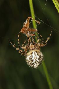 Oak Spider with Prey, Grasshopper, Spinning by Harald Kroiss