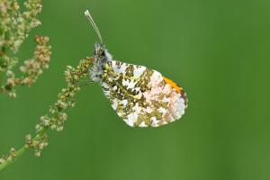 Orange Tip Butterfly, Male, Neutral Position by Harald Kroiss