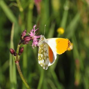 Orange Tip, Male, Cuckoo Flower, Ingestion by Harald Kroiss