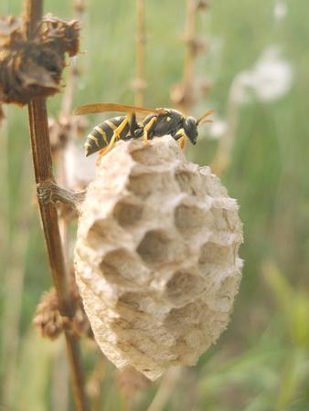 Paper Wasp Building Honeycomb