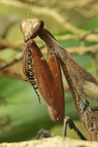 Praying Mantis, Brown, Tentacles, Spines, Portrait, Close-Up by Harald Kroiss