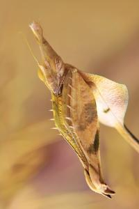 Praying Mantis, Female, Camouflage, Hunt, Attack Position, Portrait, Close-Up by Harald Kroiss
