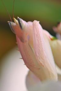 Praying Mantis, Orchid Mantis, Attack Position, Tentacles, Portrait, Close-Up by Harald Kroiss