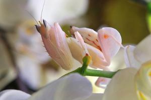 Praying Mantis, Orchid Mantis, Attack Position by Harald Kroiss