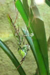 Praying Mantis, Upside Down on Plant by Harald Kroiss
