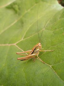 Roesel's Bush-Cricket, Female on Leaf by Harald Kroiss