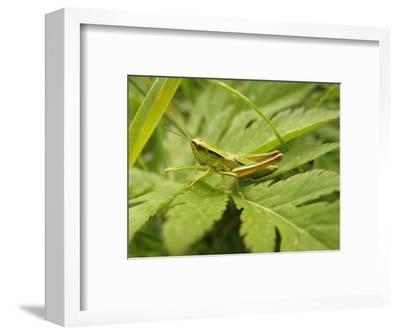 Small Gold Grasshopper on Leaf