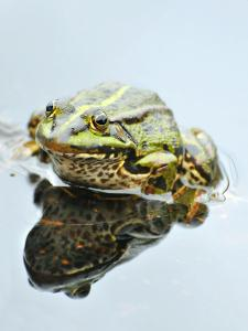 Small Pool Frog, Water, Mirroring, Frontal by Harald Kroiss