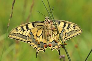 Swallowtail, Blade of Grass by Harald Kroiss
