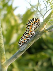 Swallowtail Caterpillar, Dill by Harald Kroiss