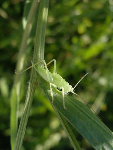 Tettigonia Cantans Grasshopper, Female Young Animal, Nymph, Female by Harald Kroiss
