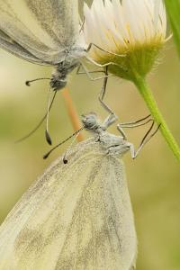 Wood White Butterflies, Two, Mating, Close-Up by Harald Kroiss