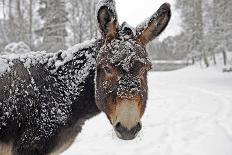 Portrait of a Donkey on Snow-Covered Belt-Harald Lange-Photographic Print