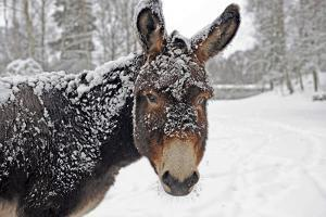 A Brown Donkey Commited with Snow on Wintry Pasture by Harald Lange