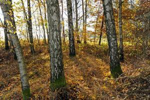 Autumnally Coloured Deciduous Forest with Natural Birch Continuanc by Harald Lange