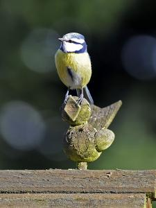 Blue Tit Sits on Stilted Wooden Bird of a Rustic Timber Roof by Harald Lange