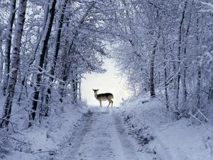 Female Fallow Deer in the Winter Coat on Snow-Covered Forest Way by Harald Lange