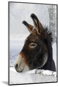 Portrait of a Donkey on Snow-Covered Belt by Harald Lange