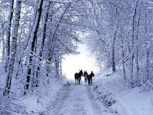 Three Donkeys on Snow-Covered Forest Way by Harald Lange
