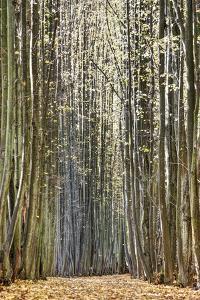 Avenue, Trees, Trail by Harald Schšn