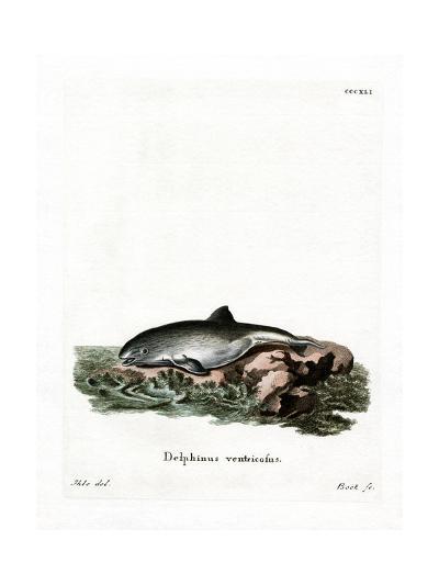 Harbor Porpoise--Giclee Print