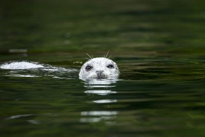 Harbor Seal, British Columbia, Canada--Photographic Print