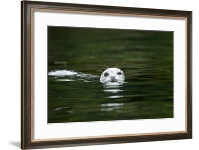 Harbor Seal, British Columbia, Canada--Framed Photographic Print
