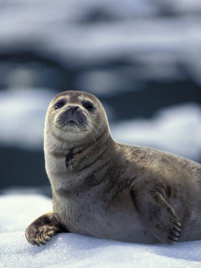 Harbor Seal on Ice Flow, Le Conte Glacier, Alaska, USA-Michele Westmorland-Photographic Print