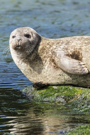 Harbor Seal on the Coast of the Shetland Islands. Scotland-Martin Zwick-Photographic Print