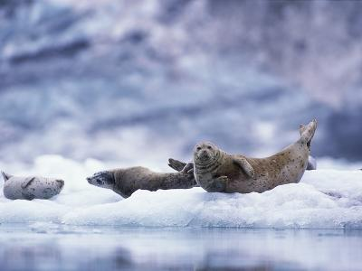 Harbor Seals on Iceberg in Glacier Bay National Park-Paul Souders-Photographic Print