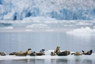Harbor Seals Rest on an Iceberg with Dawes Glacier-Design Pics Inc-Photographic Print