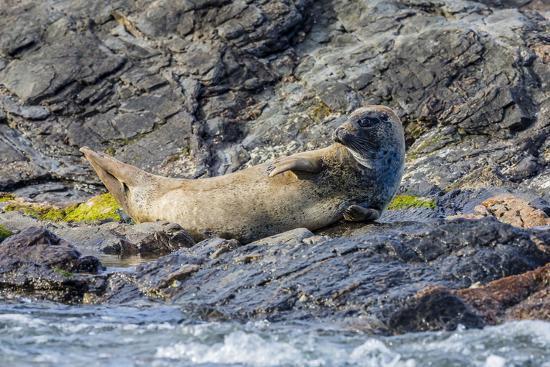 Harbour Seal (Common Seal) (Phoca Vitulina)-Michael Nolan-Photographic Print