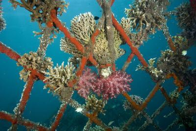 Hard and Soft Corals and Encrusting Sponge on the Structure of Bio-Rock-Franco Banfi-Photographic Print