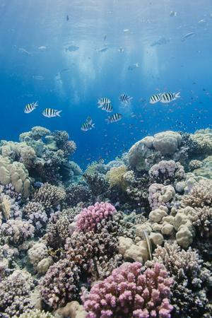Hard Coral and Tropical Reef Scene, Ras Mohammed Nat'l Pk, Off Sharm El Sheikh, Egypt, North Africa-Mark Doherty-Photographic Print