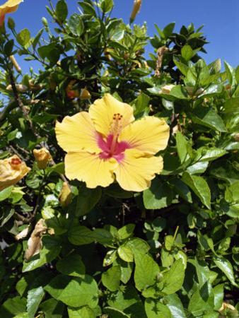Hibiscus Flowers, Hotel Tecini, Santiago, La Gomera, Canary Islands, Atlantic, Spain, Africa by Harding Robert