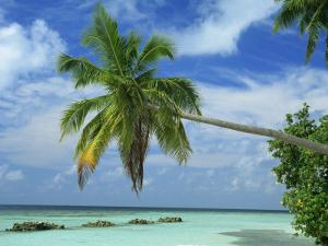 Palm Tree on the Tropical Island of Nakatchafushi in the Maldive Islands, Indian Ocean by Harding Robert