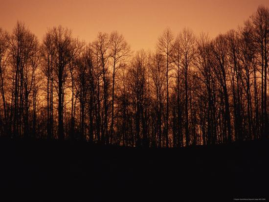Hardwood Trees Make a Silhouette at Sunset-Stephen Alvarez-Photographic Print