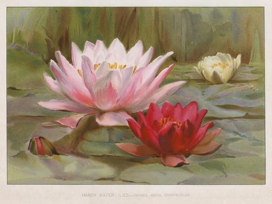 Hardy Water Lilies--Giclee Print