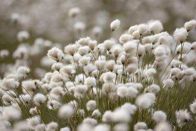 Harestail Cottongrass in Flower, Flow Country, Caithness, Highland, Scotland, UK, May-Peter Cairns-Photographic Print
