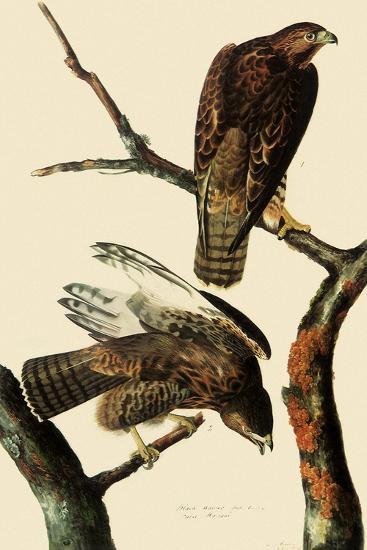 Harlan's Hawks-John James Audubon-Giclee Print