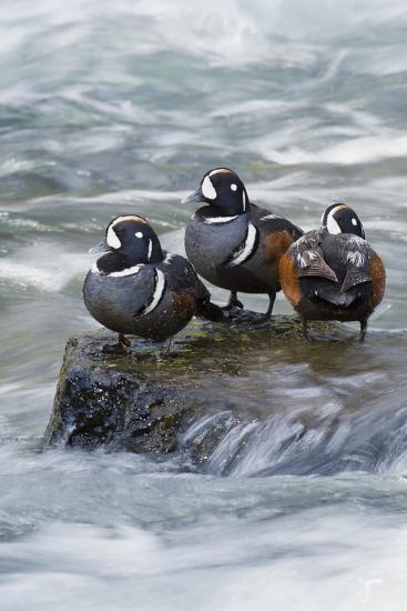 Harlequin Drakes Resting in Fresh Water Rapids-Ken Archer-Photographic Print